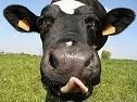 Produits de vache